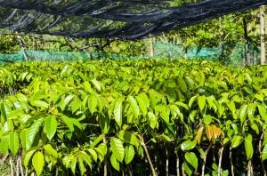 Pili Seedling-JN01